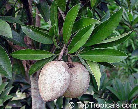 tropical fruit trees for sale uk manilkara zapota manilkara achras achras sapota