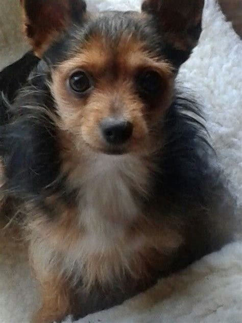 yorkie chihuahua 24 best images about yorkie chihuahua mixed puppies on