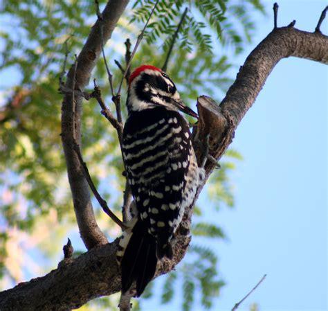 birds of westwood nuttall s woodpecker