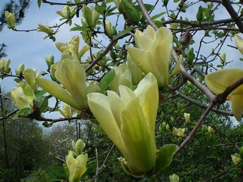 magnolia fiore significato forum le perle cuore il linguaggio dei fiori