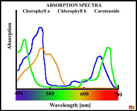 what color is chlorophyll photosynthetic pigments chlorophyll a and carotenoids