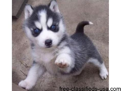 husky puppies for sale in spokane siberian husky puppies for adoption to lovely homes animals spokane