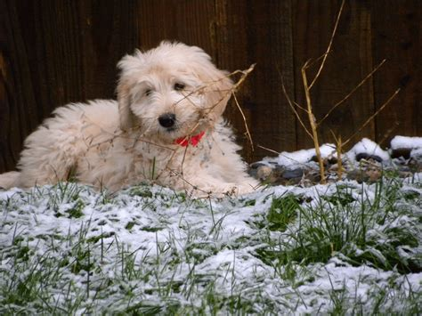 goldendoodle puppy washington about goldendoodles aussiedoodle and labradoodle puppies