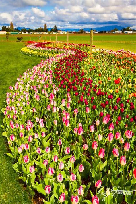 flowing tulip gardens tulips garden beautiful flowers