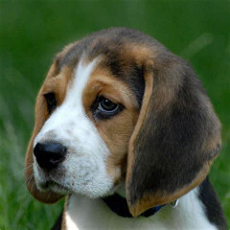 beagle breed beagle temperament grooming coat colors