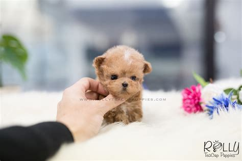rolly teacup puppies prices sold to ge peanut poodle m rolly teacup puppies