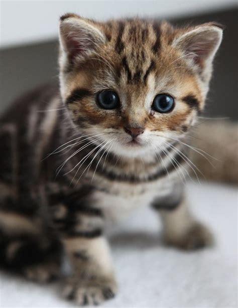 kitty cat cute kitten british shorthair baby photo litle