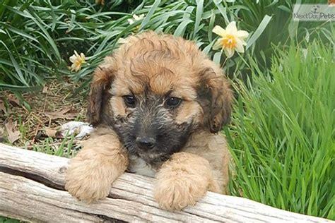 mini aussiedoodle puppies for sale near me aussiedoodle puppy for sale near southeast missouri missouri 5514b96e 3d31