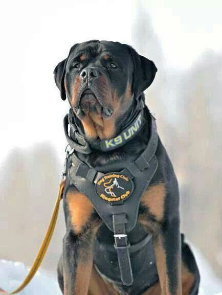 rottweiler service dogs rottweiler a collection of ideas to try about animals and pets when you leave