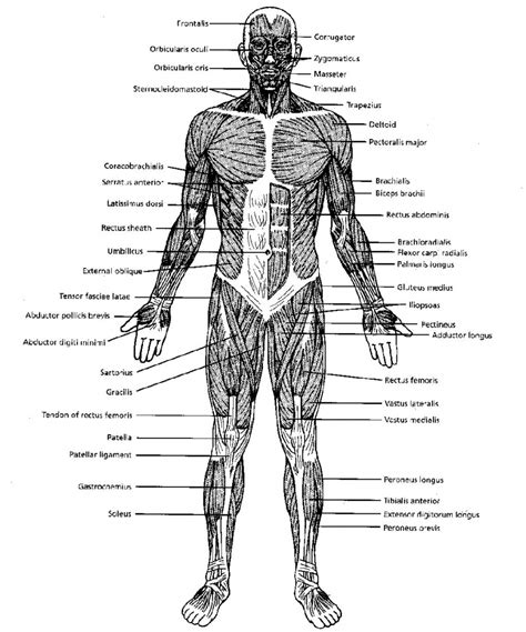 muscular system diagram labeled black and white muscular system diagram muscular system