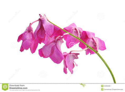 orchidee fiori appassiti fiori appassiti dell orchidea immagini stock libere da