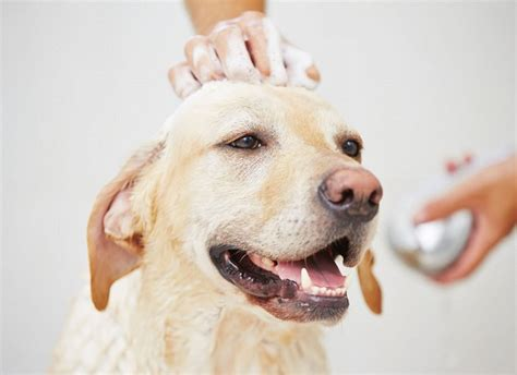 how do you get rid of fleas on a puppy how to get rid of fleas on dogs