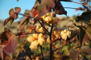 colored cotton sustainable ag a view from the field let s give a big