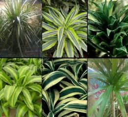 types of indoor plants dracaena classification or what type of dracaena is it better to choose