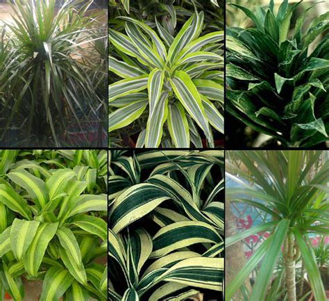 Tropical Foliage House Plants Care - don t bug me house plants that resist pests