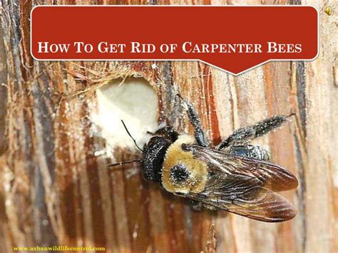 How To Get Rid Of Bees In House Siding 28 Images Getting Rid Of Carpenter Bees
