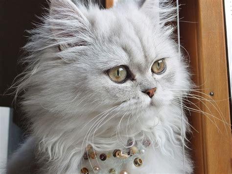 gatti persiani persiano razza felina
