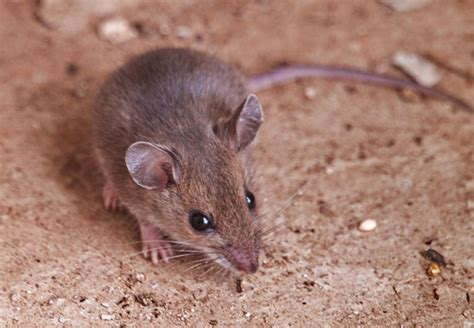 image gallery small rodents
