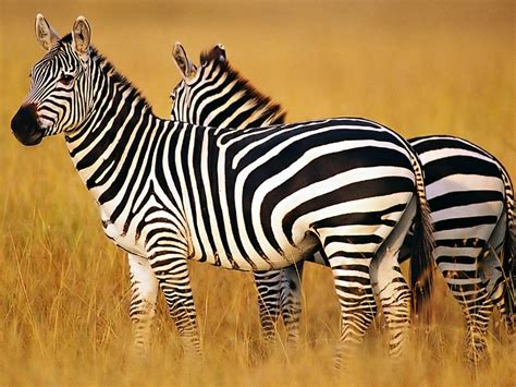 zebra wallpaper for pc zebra wallpapers for pc desktop full hd pictures