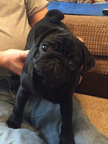 pug puppies for sale cornwall black pug puppy for sale fowey cornwall pets4homes