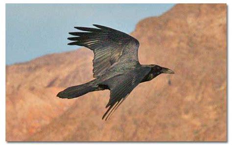 ravens crows wildlife information desertusa