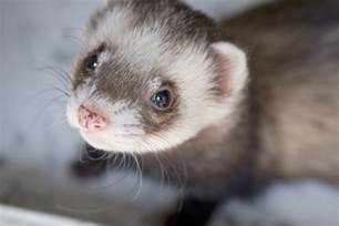 Natural Ferret Diets   Whole Prey and Raw Foods