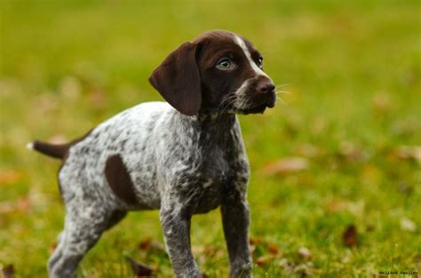 german shorthaired pointer puppies for sale in pa german shorthaired pointer mix puppies for sale in pa hd breeds picture