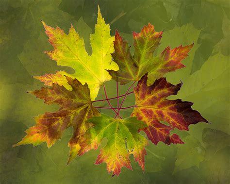 maple tree leaf arrangement maple leaf arrangement photograph by pete hemington