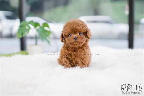 rolly teacup puppies reviews berry poodle f rolly teacup puppies