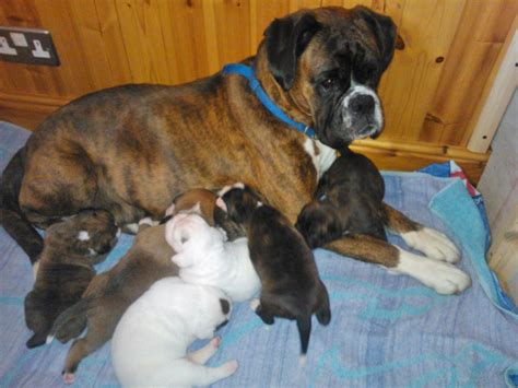 largest litter of puppies stunning litter of boxer puppies scarborough pets4homes