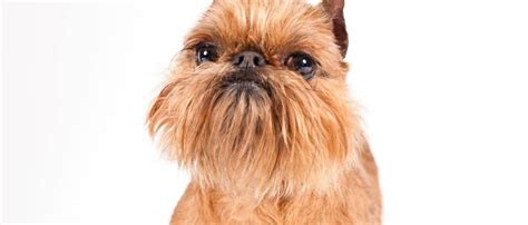 how to groom a how to groom a brussels griffon grooming tutorial