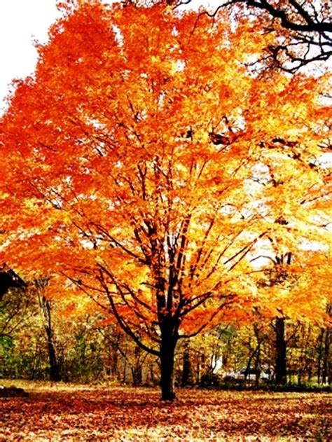 maple tree virginia 17 best images about maple trees on muffins japanese maple trees and in the fall