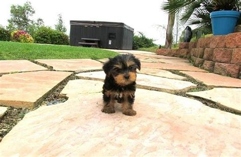 puppies for sale in bakersfield ca litter of gorgeous yorkie puppies bakersfield for sale bakersfield pets dogs