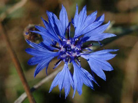 fiore fiordaliso fiordaliso il fra le spighe