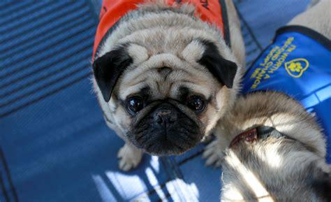northern california pug rescue newton pug rescue of sacramento