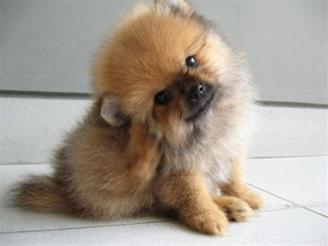 genuine miniature teacup pomeranian puppies for sale