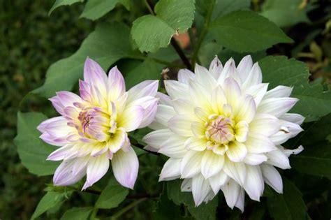 dalia fiore significato significato dei fiori mamma felice