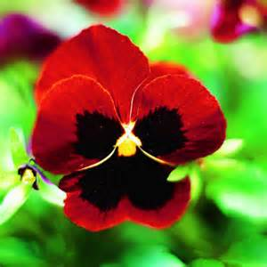 pansy colors pansy best winter flowers for color sunset