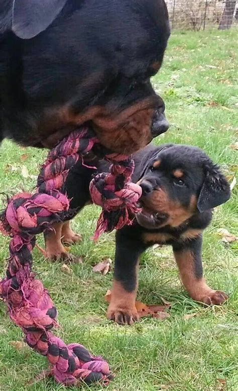 rottweiler boy names 1026 best rottweilers images on