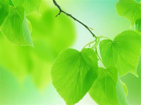 download wallpaper daun leaves green nature free background hd desktop wallpaper