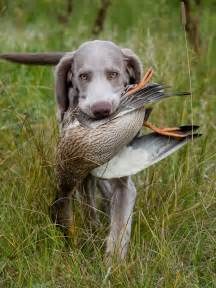 Hunting dogs for sale in texas myideasbedroom com