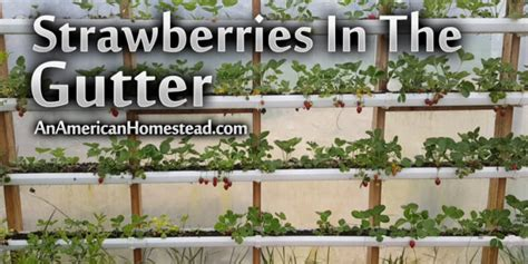 living in the gutter with strawberries in the gutter modern homesteading grid