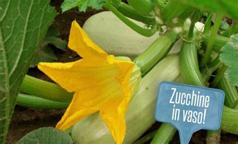 piante di zucchine in vaso orto sul balcone come coltivare le zucchine in vaso leitv