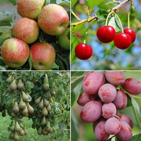73 best images about mini fruit trees on fruit - Mini Orchard Fruit Trees