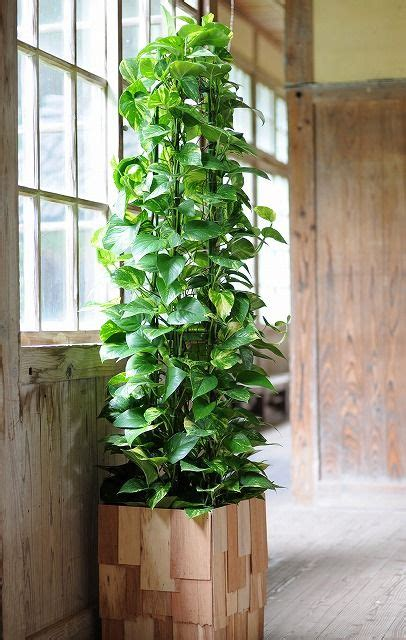 indoor vine plants training a large pothos into a pyramid maybe use a garden tuteur houseplants bouquets