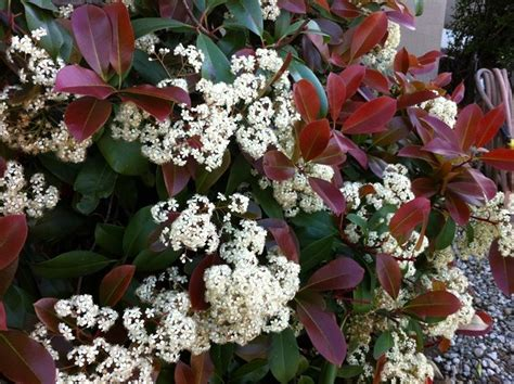 photinia in vaso la photinia photinia x fraseri piante da giardino