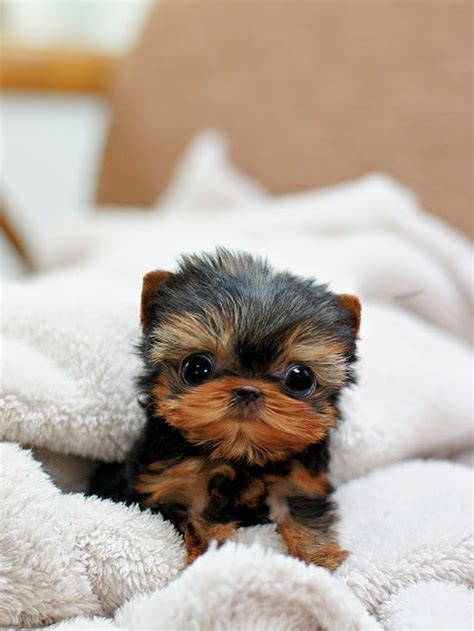 facts about yorkie 5 facts about terrier pets i want tatsachen niedliche