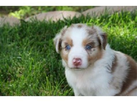 australian shepherd puppies for sale in oklahoma australian shepherd puppies in oklahoma