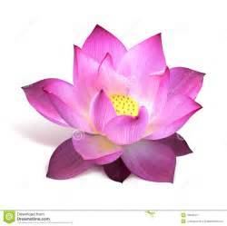 Pink Lotus Center Pink Lotus Flower Royalty Free Stock Photography Image