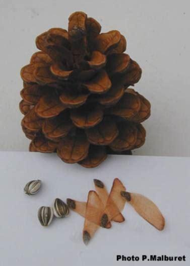 les graines de coniferes